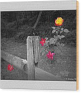 Roses And Fence Wood Print
