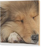 Rough Collie Pup Wood Print