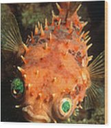 Rounded Porcupine Fish Wood Print by Nature Source