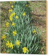 Row Of Daffodils Wood Print