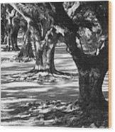 Row Of Oaks - Black And White Wood Print