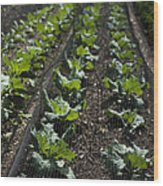 Rows Of Cabbage Wood Print