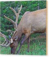 Royal Bull Elk Wood Print