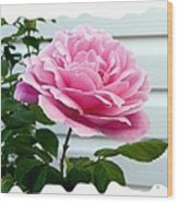 Royal Kate Rose Wood Print by Will Borden