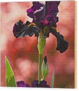Royal Purple Tall Bearded Iris With Peachy Azalea Background Wood Print