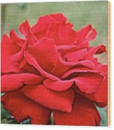 Royal Red Rose Wood Print