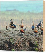 Ruddy Shelducks Wood Print