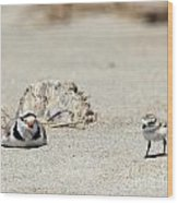 Run Little One  Piping Plover Wood Print