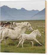 Running Wild In Iceland Wood Print