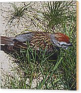 Rusty Capped Sparrow Wood Print