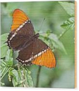Rusty Tipped Page Butterfly Wood Print