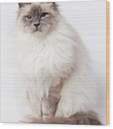 Sacred Birman Cat With Blue Eyes Wood Print
