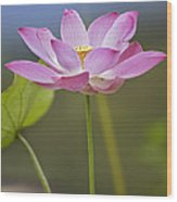 Sacred Lotus Nelumbo Nucifera Flower Wood Print