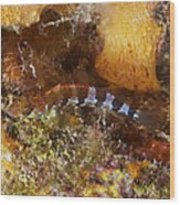 Saddled Blenny, Bonaire, Caribbean Wood Print