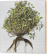 Sage Plant And Roots Wood Print