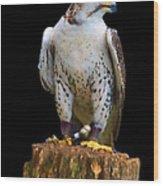 Saker Falcon Wood Print