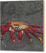 Sally Lightfoot Crab Wood Print by Tony Beck