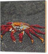 Sally Lightfoot Crab Wood Print
