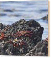 Sally Lightfoot Crabs Wood Print