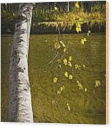 Salmon During The Fall Migration In The Little Manistee River In Michigan No. 0887 Wood Print