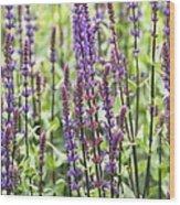 Salvia Nemorosa 'caradonna' Wood Print