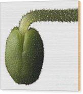 Salvia Polystachya Sprout Wood Print