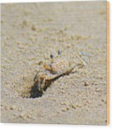 Sand Crab Digging His Hole Wood Print