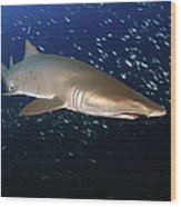 Sand Tiger Shark Off The Coast Of North Wood Print