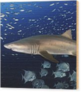 Sand Tiger Shark Swimming In Blue Water Wood Print