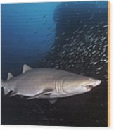 Sand Tiger Shark Swims By The Wreck Wood Print