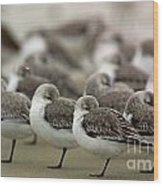 Sanderlings Try To Keep Warm At Corporation Beach In Dennis On C Wood Print