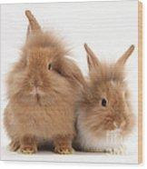 Sandy Lionhead Rabbits Wood Print