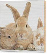 Sandy Rabbit And Babies Wood Print