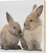 Sandy Rabbits Sharing Grass Wood Print