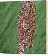 Savannah Ruby Grass Wood Print