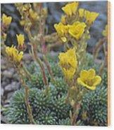 Saxifrage Flowers Wood Print