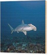 Scalloped Hammerhead Shark Wood Print