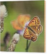 Scarce Copper Butterfly Wood Print