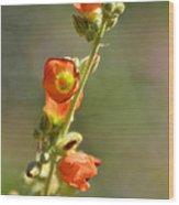 Scarlet Globe-mallow Wood Print