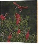 Scarlet Ibises Roost In A Red Mangrove Wood Print