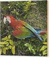 Scarlet Macaw Ara Macao Adult Perching Wood Print