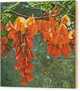 Scarlet Wisteria Tree - Sesbania Punicea Wood Print