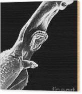 Schistosome Wood Print
