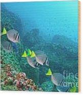 School Of Razor Surgeonfish On Rocky Seabed Wood Print by Sami Sarkis