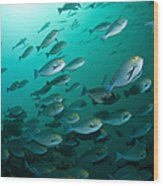 School Of Yellow Masked Surgeonfish Wood Print