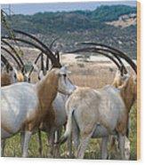 Scimitar-horned Oryx Wood Print