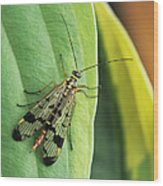 Scorpion Fly Wood Print