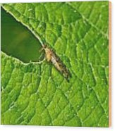 Scorpion Fly Nosing Around Wood Print