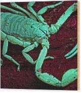 Scorpion Glows In Uv Light Costa Rica Wood Print