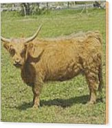 Scottish Highland Cow In Farm Field Maine Wood Print